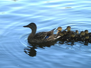 800px-Mother_and_baby_ducks