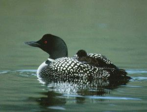 Common_Loon_with_chick