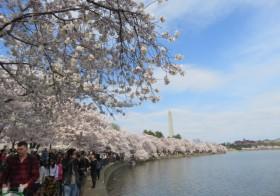ワシントンDCの「全米桜祭り」を堪能!桜に魅了された米国人&東海岸に根づく桜